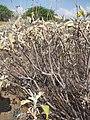 Starr-130422-4274-Encelia farinosa-stems-Kahului-Maui (25092176322).jpg