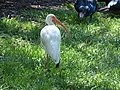 Starr-160716-0127-Stenotaphrum secundatum-with Ibis-Boca Regional Hospital-Florida (29586620661).jpg