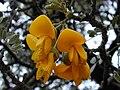 Starr 030419-0050 Sophora chrysophylla.jpg