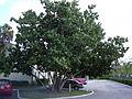 Starr 031108-0140 Hibiscus tiliaceus.jpg