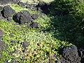 Starr 040331-0243 Tribulus cistoides.jpg