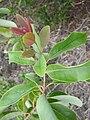 Starr 060325-9016 Santalum freycinetianum var. lanaiense.jpg