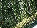 Starr 061206-1999 Araucaria columnaris.jpg