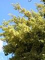 Starr 071024-8799 Ficus benjamina.jpg