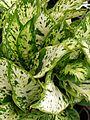 Starr 080117-1529 Dieffenbachia maculata (edit).jpg