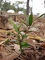 Starr 081027-0328 Olea europaea subsp. cuspidata.jpg