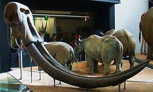 Stegodon - Skull of S. ganesha