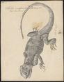 Stellio vulgaris - 1700-1880 - Print - Iconographia Zoologica - Special Collections University of Amsterdam - UBA01 IZ12700073.tif