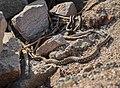 Steppe rat snakes on the Sea of Azov.jpg