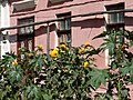 Still Life with Flowers and Facade - Tiraspol - Transnistria (36646552502).jpg