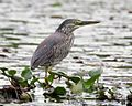 Striated Heron (Butorides striata) - Flickr - Lip Kee (1).jpg
