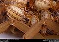 Striped Bark Scorpion (Buthidae, Centruroides vittatus (Say)) (36906277825).jpg