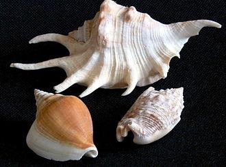 Strombidae - Three shells of three species in the family Strombidae: lower left Laevistrombus turturella, upper center Lambis lambis, lower right Euprotomus aurisdianae