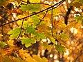 Sugar Maple Leaves - Flickr - treegrow.jpg