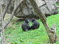 Sulawesi crested macaques.JPG