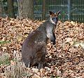 Sumpfwallaby Wallabia bicolor Tierpark Hellabrunn-4.jpg
