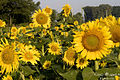 Sunflowers in Memphis.jpg