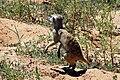 Suricata suricatta 005.jpg