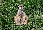 Suricata suricatta qtl2.jpg