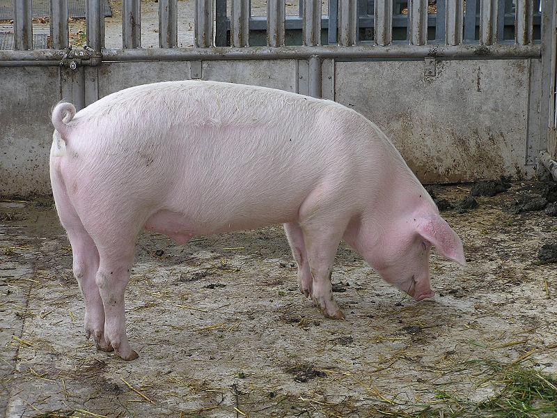 waarom eten moslims geen varken