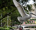 Swans in the city 3.jpg
