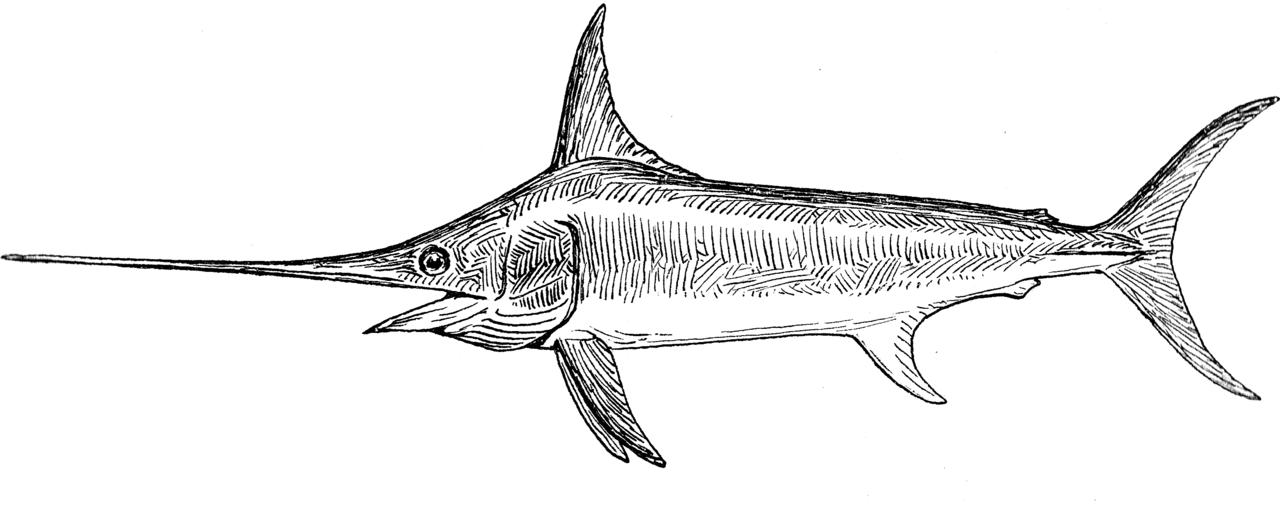 File swordfish psf png wikimedia commons - Dessin espadon ...