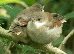 Two Whitethroat (Sylvia communis) fledglings.Note yellow bill base, typical of perching bird fledglings.