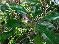 Syzygium aromaticum (5288803347).jpg
