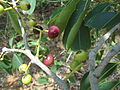 Syzygium cumini Jambul fruit Kambalakonda Visakhapatnam.JPG