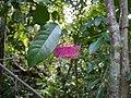 Syzygium laetum (Buch.-Ham.) Gandhi (15571922834).jpg
