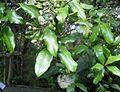 Syzygium maire 11.JPG