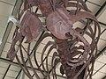 T. rex skeleton CAS ribs.JPG