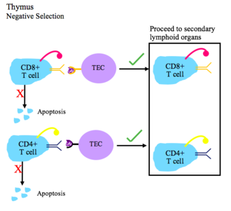 Central tolerance - This figure depicts the process of negative selection for T cells.