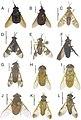 Tabanidae (10.3897-zookeys.684.13197) Figure 11.jpg