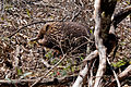 Tachyglossus aculeatus (Short-beaked Echidna), Moora Track, Grampians National Park, Victoria Australia (5043622287).jpg
