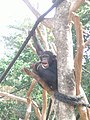 Tacugama-Chimpanzee.JPG
