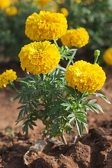 Tagetes wikivisually tagetes mightylinksfo