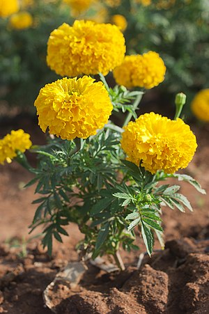 Tagetes - Tagetes erecta, African marigold