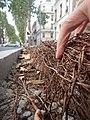Tapis de racines de platane sous trottoir Platanus root mat under sidewalk Lille northern France 07.jpg