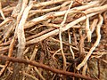 Tapis de racines de platane sous trottoir Platanus root mat under sidewalk Lille northern France 11.jpg