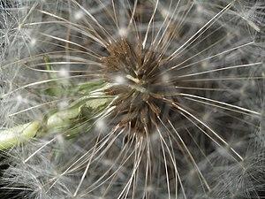 Taraxacum, seeds detail 2.jpg