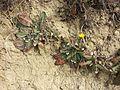 Taraxacum serotinum sl64.jpg