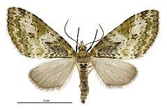 240px tatosoma topea female