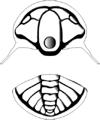 Tchernyshevioides drawing white.png