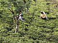 Tea Picking, Nuwara Eliya (7228014592).jpg