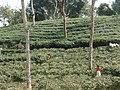 Tea gardens Srimangal Sreemangal Upazila Moulvibazar Maulvibazar Moulavibazar Sylhet 01.jpg
