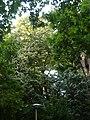Tell argentat del passeig de la Bonanova P1510531.jpg