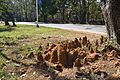Termite Mound - Indian Institute of Technology Campus - Kharagpur - West Midnapore 2013-01-26 3677.JPG