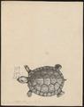 Testudo stellata - - Print - Iconographia Zoologica - Special Collections University of Amsterdam - UBA01 IZ11600053.tif