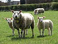 Texel ewe and twin lambs - geograph.org.uk - 767717.jpg